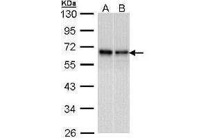 Image no. 5 for anti-RAD9 Homolog A (S. Pombe) (RAD9A) (Center) antibody (ABIN2857053)