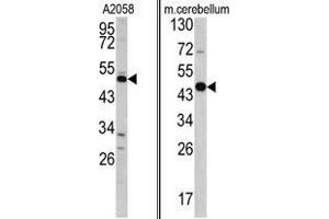 Western Blotting (WB) image for anti-Growth Arrest-Specific 7 (GAS7) (C-Term) antibody (ABIN453048)