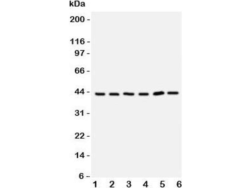 Western Blotting (WB) image for anti-Toll-Like Receptor Adaptor Molecule 2 (TICAM2) (C-Term) antibody (ABIN3029187)