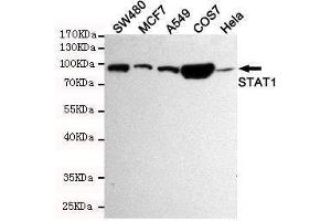 Western Blotting (WB) image for anti-STAT1 antibody (Signal Transducer and Activator of Transcription 1, 91kDa) (ABIN2169570)