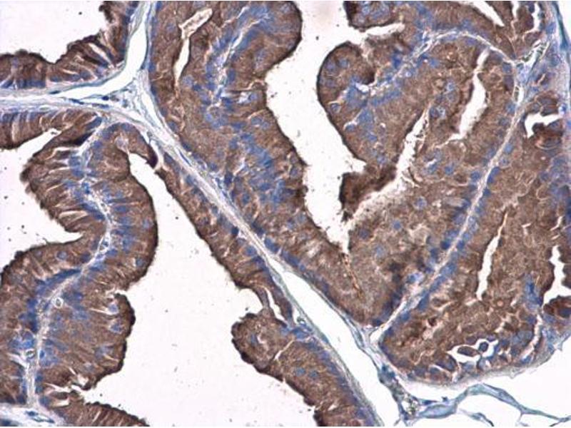 Immunohistochemistry (IHC) image for anti-Plasminogen (PLG) (Center) antibody (ABIN2855505)