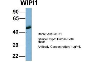anti-WD Repeat Domain, phosphoinositide Interacting 1 (WIPI1) (Middle Region) antibody (3)