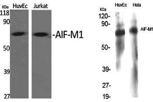 Image no. 2 for anti-Apoptosis-Inducing Factor, Mitochondrion-Associated, 1 (AIFM1) (N-Term) antibody (ABIN3180477)