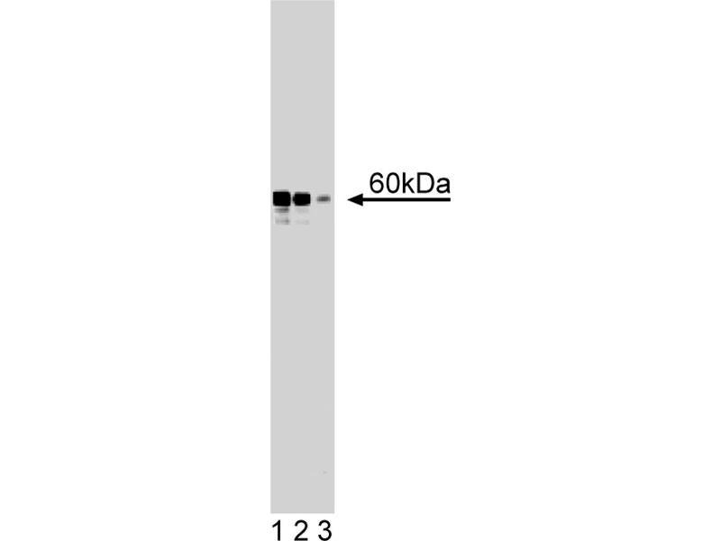 Western Blotting (WB) image for anti-RAD9 Homolog A (S. Pombe) (RAD9A) (AA 264-370) antibody (ABIN968473)
