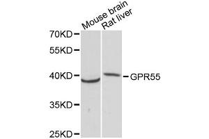 Image no. 1 for anti-G Protein-Coupled Receptor 55 (GPR55) antibody (ABIN6292091)