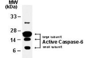 Western Blotting (WB) image for anti-Caspase 6 antibody (Caspase 6, Apoptosis-Related Cysteine Peptidase) (ABIN252116)