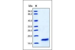 SDS-PAGE (SDS) image for Interleukin 2 (IL2) (AA 21-153) (Active) protein (ABIN2181303)