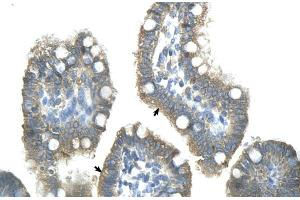 Image no. 2 for anti-Zinc Finger and SCAN Domain Containing 25 (ZSCAN25) (Middle Region) antibody (ABIN2775823)