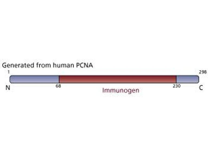 image for anti-Proliferating Cell Nuclear Antigen (PCNA) (AA 68-230) antibody (ABIN968097)