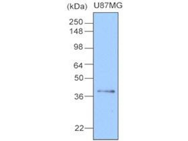 Western Blotting (WB) image for anti-Clusterin (CLU) (AA 1-333), (N-Term) antibody (ABIN317504)