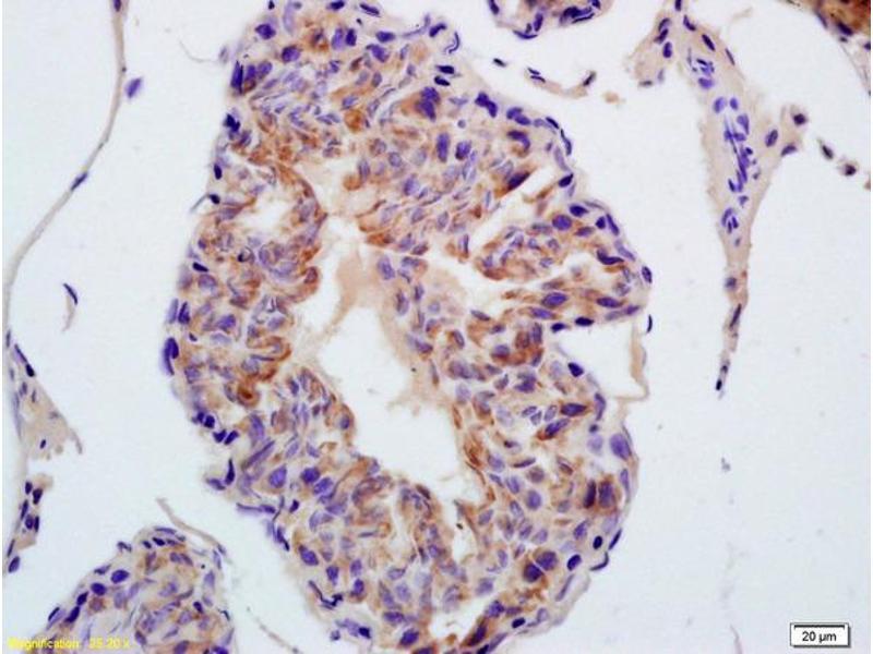 Immunohistochemistry (IHC) image for anti-Thioredoxin Reductase 1 (TXNRD1) (AA 440-490) antibody (ABIN1386102)