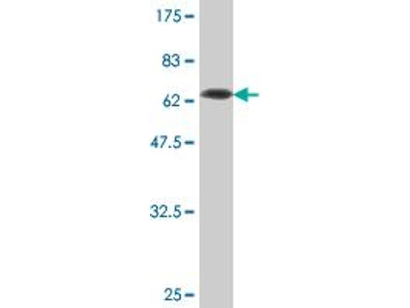 Western Blotting (WB) image for anti-serpin Peptidase Inhibitor, Clade I (neuroserpin), Member 1 (SERPINI1) (AA 17-411) antibody (ABIN393232)
