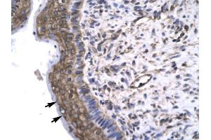 Immunohistochemistry (IHC) image for anti-General Transcription Factor IIF, Polypeptide 2, 30kDa (GTF2F2) (Middle Region) antibody (ABIN1107469)