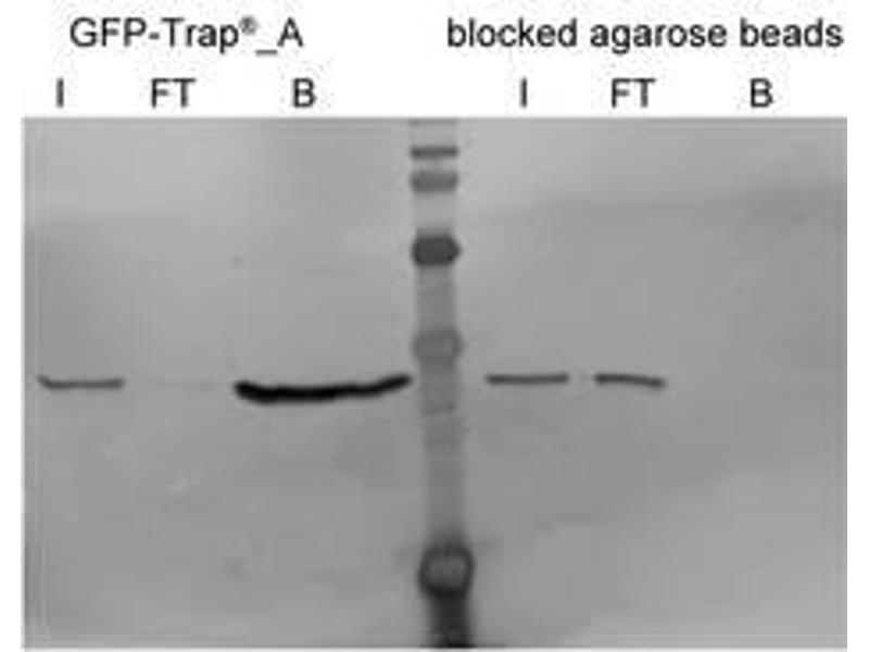 Western Blotting (WB) image for Blocked agarose beads (ABIN1082210)