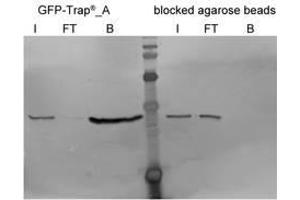 Western Blotting (WB) image for Blocked agarose beads (ABIN1082210)