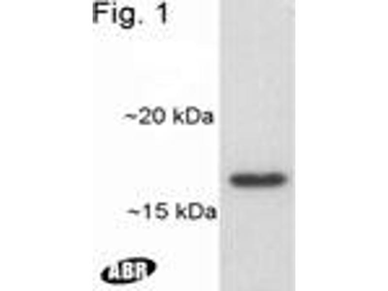Western Blotting (WB) image for anti-ADP-Ribosylation Factor 1 (ARF1) antibody (ABIN152664)