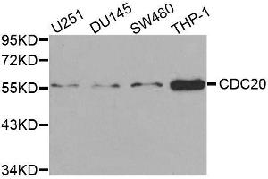 Image no. 3 for anti-Cell Division Cycle 20 Homolog (S. Cerevisiae) (CDC20) antibody (ABIN3021793)