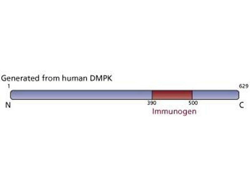 image for anti-Dystrophia Myotonica-Protein Kinase (DMPK) (AA 390-500) antibody (ABIN968595)