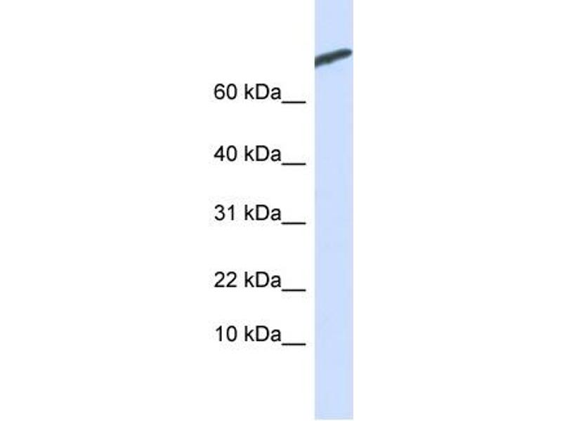 Western Blotting (WB) image for anti-CAMP-Regulated phosphoprotein, 21kDa (ARPP21) (N-Term) antibody (ABIN502262)