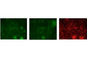 Immunofluorescence (IF) image for anti-GATA Binding Protein 3 (GATA3) (C-Term) antibody (ABIN2779713)