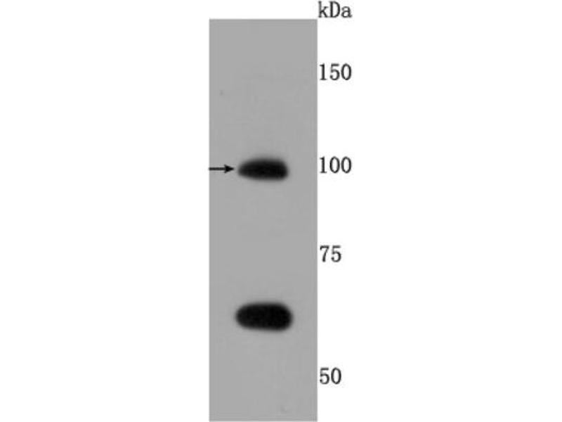 Western Blotting (WB) image for anti-Toll-Like Receptor 5 (TLR5) (AA 700-800) antibody (ABIN5950286)