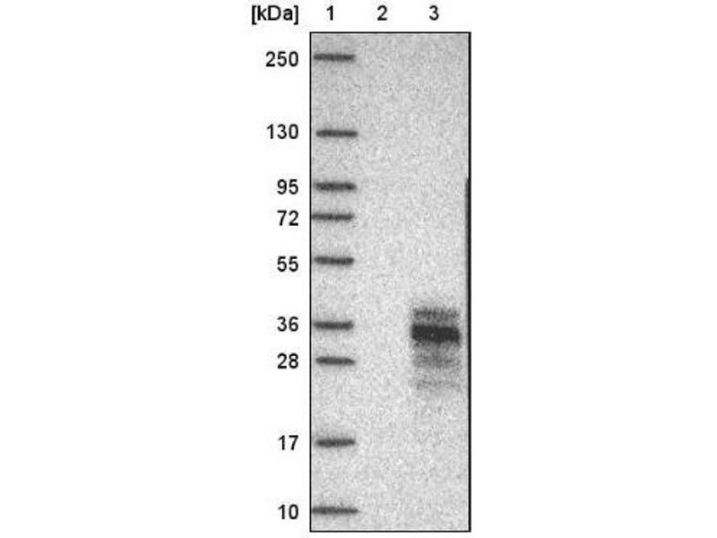 Western Blotting (WB) image for anti-Platelet-Derived Growth Factor beta Polypeptide (PDGFB) antibody (ABIN4344540)