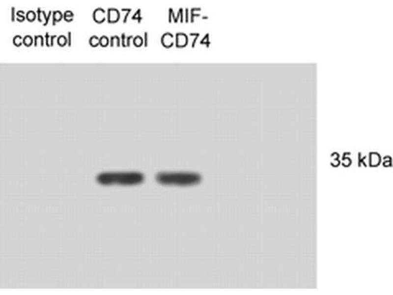 Image no. 3 for anti-HLA-DR-gamma (CD74) antibody (Atto 488) (ABIN2481699)
