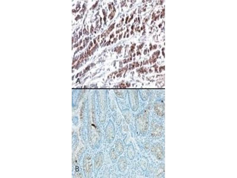 Immunohistochemistry (IHC) image for anti-HtrA Serine Peptidase 2 (HTRA2) (AA 335-350) antibody (ABIN567900)