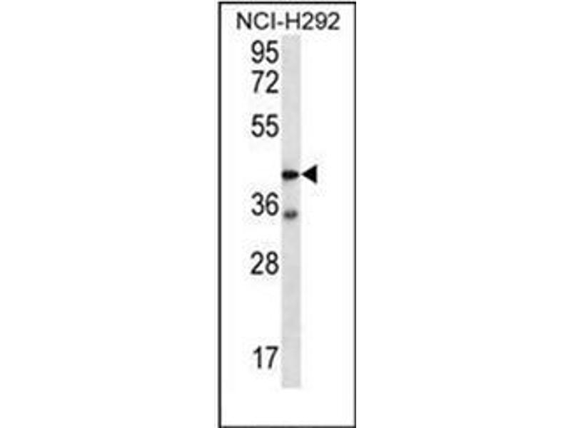 Western Blotting (WB) image for anti-F2RL2 antibody (Coagulation Factor II (thrombin) Receptor-Like 2) (AA 20-50) (ABIN952152)
