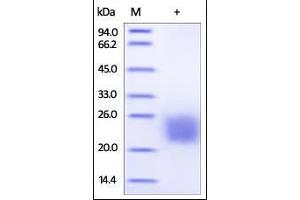 Image no. 2 for Cytotoxic T-Lymphocyte-Associated Protein 4 (CTLA4) (AA 37-160) (Active) protein (His tag,AVI tag,Biotin) (ABIN2180929)