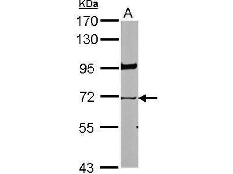 Western Blotting (WB) image for anti-Lamin B1 antibody (LMNB1) (ABIN2447872)