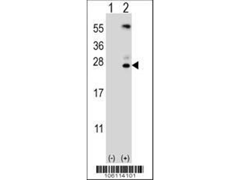 Western Blotting (WB) image for anti-Kallikrein 6 (KLK6) (AA 1-30), (N-Term) antibody (ABIN652195)