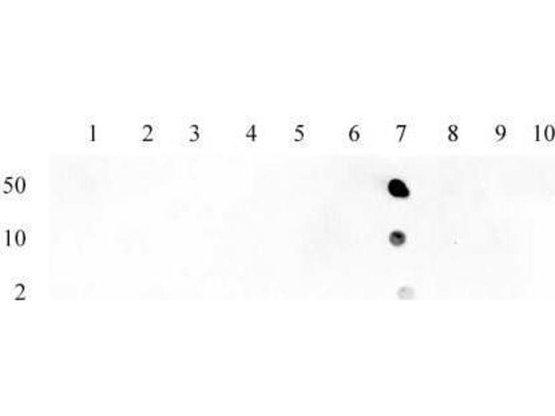 Dot Blot (DB) image for anti-Histone 3 (H3) (acLys23) antibody (ABIN4889650)
