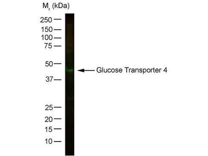 Western Blotting (WB) image for anti-Solute Carrier Family 2 (Facilitated Glucose Transporter), Member 4 (SLC2A4) antibody (ABIN260121)