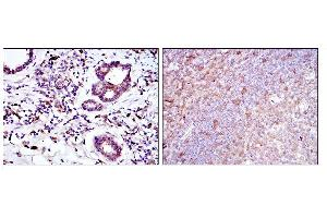 Image no. 1 for anti-BH3 Interacting Domain Death Agonist (BID) antibody (ABIN1105530)