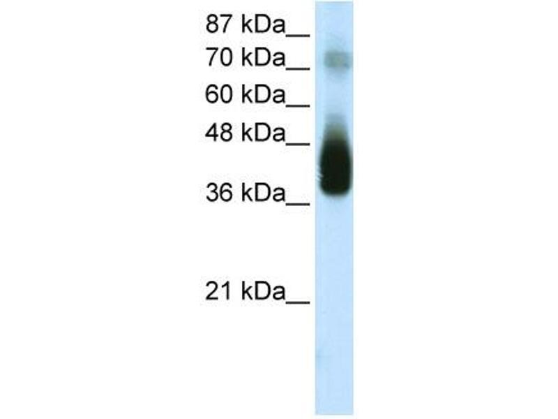 Western Blotting (WB) image for anti-C-JUN antibody (Jun Proto-Oncogene) (C-Term) (ABIN2792667)