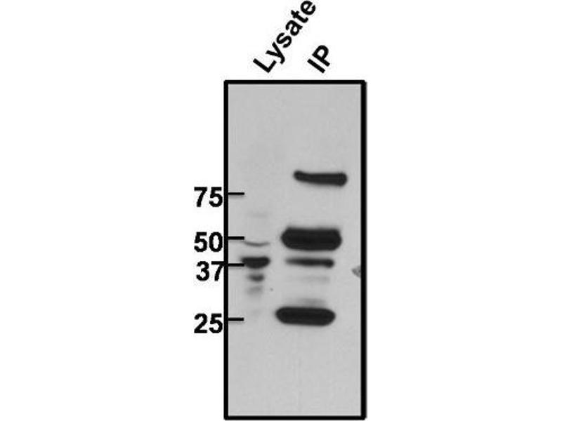 Immunoprecipitation (IP) image for anti-CREB1 antibody (CAMP Responsive Element Binding Protein 1) (ABIN261497)