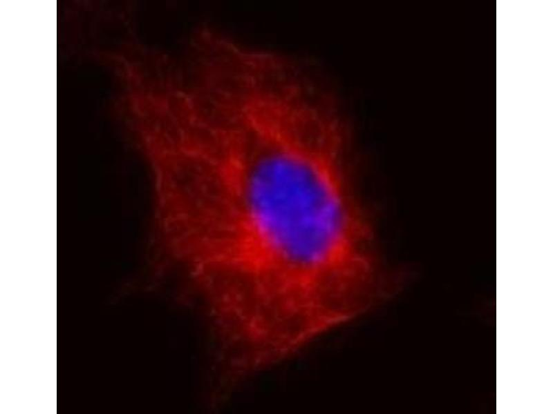 Immunofluorescence (IF) image for anti-TUBB antibody (Tubulin, beta) (AA 81-95) (ABIN267968)