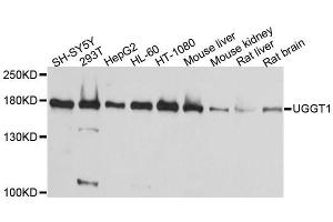 Image no. 1 for anti-UDP-Glucose Glycoprotein Glucosyltransferase 1 (UGGT1) antibody (ABIN1683209)