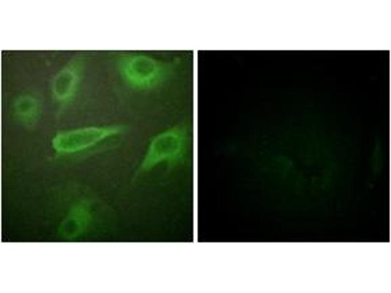 Immunofluorescence (IF) image for anti-Interleukin 4 Receptor (IL4R) (AA 463-512), (pTyr497) antibody (ABIN1531667)