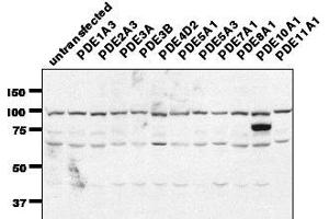Image no. 1 for anti-phosphodiesterase 7A (PDE7A) (C-Term) antibody (ABIN1042652)