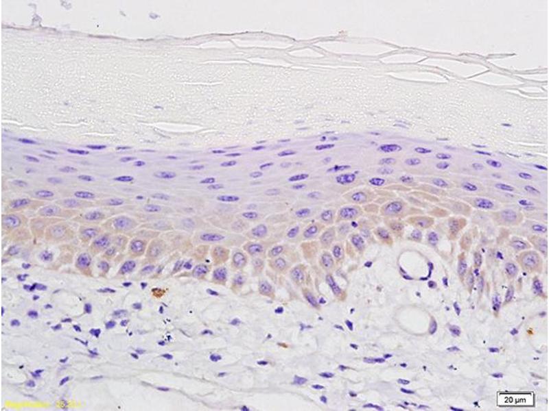 Image no. 2 for anti-Opioid Receptor, mu 1 (OPRM1) (AA 180-230) antibody (ABIN701755)