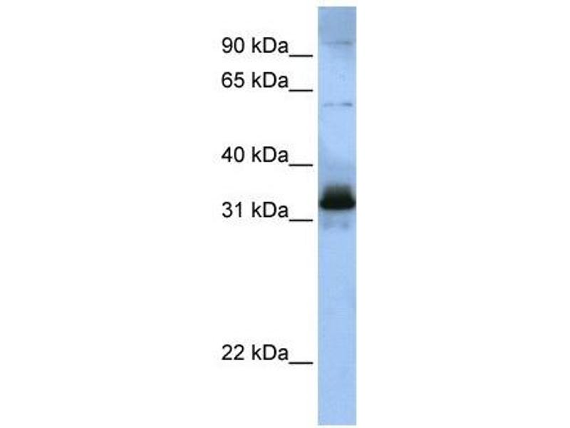Western Blotting (WB) image for anti-serine/arginine-Rich Splicing Factor 8 (SRSF8) (Middle Region) antibody (ABIN405374)