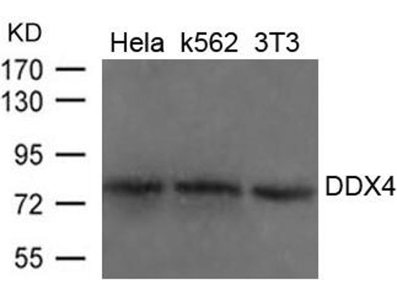 Image no. 1 for anti-DEAD Box Protein 4 (DDX4) (AA 273-277) antibody (ABIN6267780)