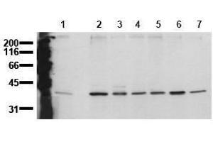 Western Blotting (WB) image for anti-Mitogen-Activated Protein Kinase 14 (MAPK14) (N-Term) antibody (ABIN126883)