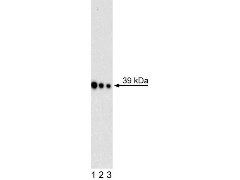 Image no. 1 for anti-Musashi Homolog 1 (Drosophila) (MSI1) (AA 221-311) antibody (ABIN967671)