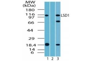 Western Blotting (WB) image for anti-Lysine (K)-Specific Demethylase 1A (KDM1A) antibody (ABIN4331735)