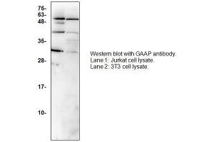Image no. 1 for anti-Transmembrane BAX Inhibitor Motif Containing 4 (TMBIM4) (N-Term) antibody (ABIN1686079)