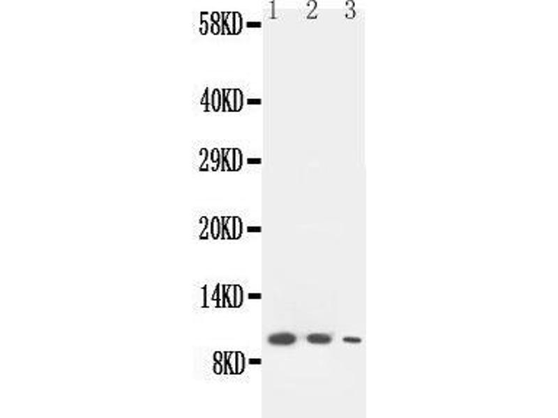 Western Blotting (WB) image for anti-Chemokine (C Motif) Ligand 1 (XCL1) (AA 82-97), (C-Term) antibody (ABIN3042710)