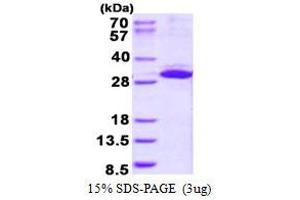 Image no. 1 for Integrin beta 1 Binding Protein 3 (ITGB1BP3) protein (His tag) (ABIN6387009)